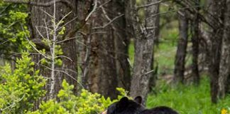 The back of a black bear seen on a road